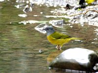 Gray-headed Tanager - Eucometis penicillata