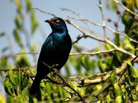Glossy starling taken at Mkuze Game Reserve.