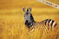 Zebra (Equus burchelli) photo
