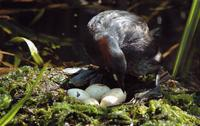 A little grebe with a nest full of eggs.