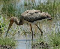 Yellow-billed Stork p.26