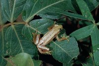 : Afrixalus brachycnemis; Short-legged Spiny Reed Frog