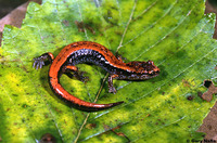 : Plethodon vehiculum; Western Red-backed Salamander