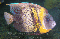 : Pomacanthus zonipectus; Cortez Angelfish