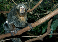 : Pithecia pithecia; Pale-headed Saki