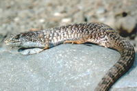 : Elgaria coerulea coerulea; San Francisco Alligator Lizard