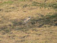Great Thick-knee (Esacus recurvirostris) 2005. január 4. Lake Suriwal, Ranthambhore