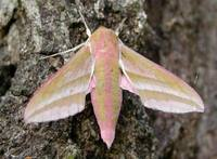Deilephila elpenor - Elephant Hawk-moth