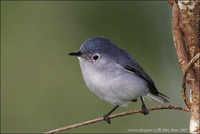Polioptila caerulea - Blue-grey Gnatcatcher
