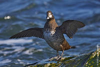 Image of: Histrionicus histrionicus (harlequin duck)