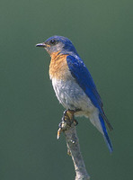 Eastern Bluebird (Sialia sialis) photo
