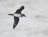 Atlantic Petrel (Pterodroma incerta) photo