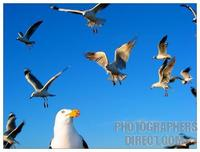 Pacific gull with seagulls behind stock photo