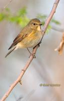 Red-flanked bluetail C20D 02689.jpg