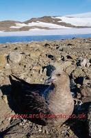 FT0167-00: South Polar Skua, Catharacta mccormicki, on its nest. Antarctica