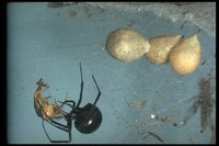 : Lactrodectus mactans; Black Widow Spider