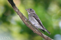 Dark-sided Flycatcher 烏鶲