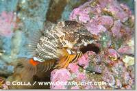 ...Image 13724, Grunt sculpin.  Grunt sculpin have evolved into its strange shape to fit within a g