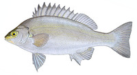 Bidyanus bidyanus, Bidyan perch: fisheries, aquaculture, gamefish