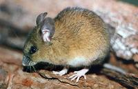 Image of: Delomys sublineatus (pallid Atlantic forest rat)