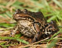 Rana ridibunda - Lake Frog