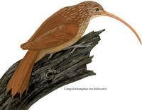 Image of: Campylorhamphus trochilirostris (red-billed scythebill)
