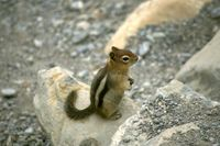 Spermophilus lateralis - Golden-mantled Ground Squirrel