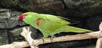 Image of: Rhynchopsitta pachyrhyncha (thick-billed parrot)