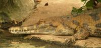 Tomistoma schlegelii - False Gavial