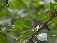 Checker-throated Antwren (Myrmotherula fulviventris) photo