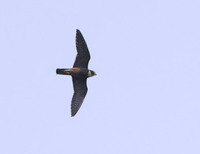 Bat Falcon (Falco rugigularis) photo
