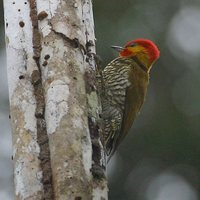 Yellow-throated Woodpecker - Piculus flavigula