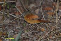 White-lored Spinetail - Synallaxis albilora