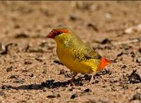 Goldbreasted Waxbill