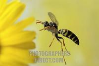Paper Wasp ( Polistes gallicus ) stock photo