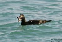 검둥오리사촌(Melanitta fusca)  (White-winged Scoter)