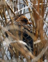 : Coturnicops noveboracensis; Yellow Rail