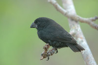: Geospiza magnirostris; Large Ground Finch