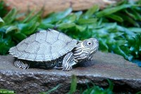 : Graptemys geographica; Map Turtle