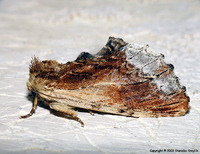 Ptilodon cucullina - Maple Prominent