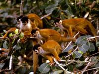 photograph of squirrel monkeys : Saimiri sciureus