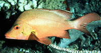 Lutjanus gibbus, Humpback red snapper: fisheries, gamefish, aquarium
