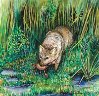 Image of: Cerdocyon thous (crab-eating fox)