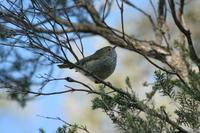 Acanthiza lineata - Striated Thornbill