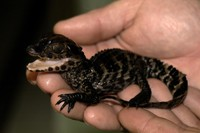 Paleosuchus palpebrosus - Cuvier's Smooth-fronted Caiman