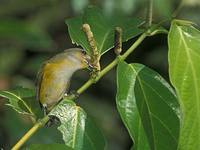 Yellow-throated Euphonia (Euphonia hirundinacea) photo