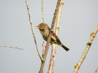 Common Chiffchaff - Phylloscopus collybita
