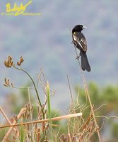 White-winged Widowbird - Euplectes albonotatus