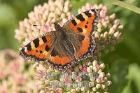 small tortoiseshell ( Nymphalis urticae ) stock photo