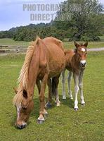 New Forest Mare and Foal , Stoney Cross , Hampshire , England stock photo